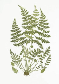 Anne Pratt - Brittle Fern