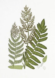 Anonymous - Flowering Fern