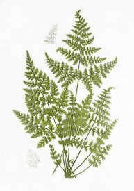 Anonymous - Mountain Fern