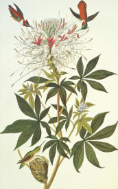 John James Audubon - Ruff-Necked Hummingbird
