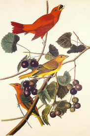 John James Audubon - Summer Red Bird