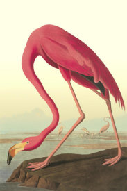 John James Audubon - American Flamingo