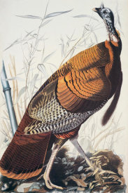 John James Audubon - Wild Turkey