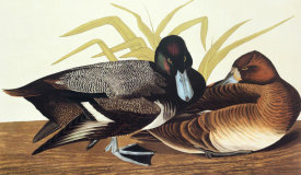 John James Audubon - Scaup Duck