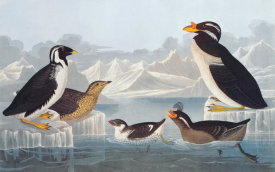 John James Audubon - Black-throated Guillemot and Nobbed-billed Auk