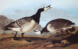 John James Audubon - Barnacle Goose
