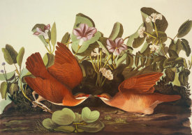 John James Audubon - Key-West Dove