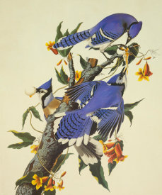 John James Audubon - Blue Jay