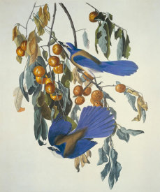 John James Audubon - Florida Jay