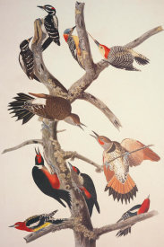 John James Audubon - Hairy Woodpecker