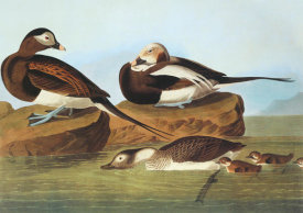 John James Audubon - Long-Tailed Duck
