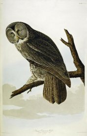 John James Audubon - Great Cinereous Owl