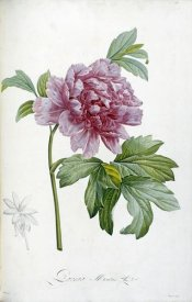 Pierre Joseph Redoute - Engraving of a Peony