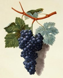 George Brookshaw - Black Muscadine Grapes