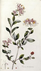 William Curtis - A Colour Plate From Curtis' Flora Londinesis