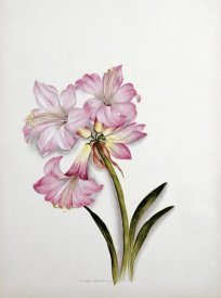 Ethel May Dixie - Amaryllis Belladonna