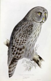 John Gould - Great Cinereous Owl