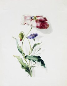 Thomas Holland - A Scarlet Poppy and a Cornflower