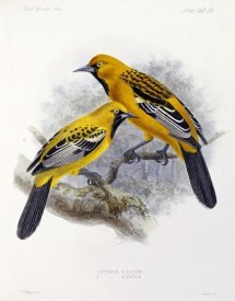 J. G. Keulemans - Ecuadorian Cacique and an Orange Oriole
