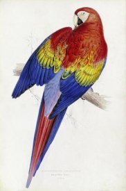 Edward Lear - Red and Yellow Maccaw