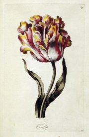 Thomas Parkinson - Tulip