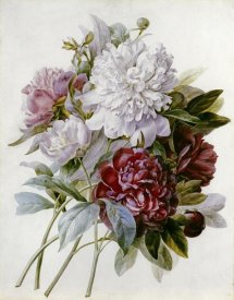 Pierre Joseph Redoute - A Bouquet of Red, Pink and White Peonies