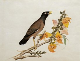 Calcutta School - A Minah Bird Perched on a Flowering Branch