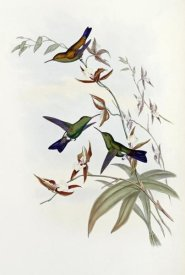 John Gould - Family of Hummingbirds