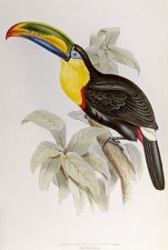 John Gould - Family of Toucans