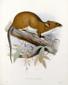 J. G. Keulemans - Nectoma Ferruginea