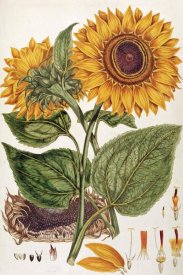 John Miller - Sunflower