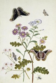 Thomas Robins Jr. - Convolvulus and Chrysanthemum