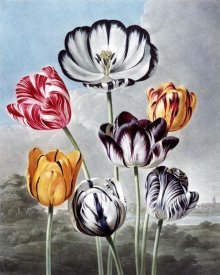 Robert John Thornton - Tulips
