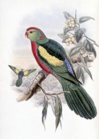 John Gould - Beautiful King Parrot