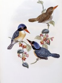 John Gould - Black Faced Kingfisher