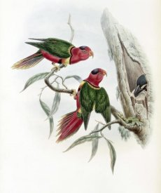 John Gould - Duchess of Connaught's Parakeet