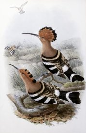John Gould - Indian Hoopoe
