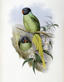 John Gould - Slaty-Headed Parakeet