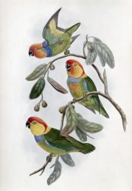 John Gould - Southern Ring Perroquet