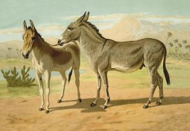 Samuel Sidney - Abyssinian Male and Indian Onager Female, 1900