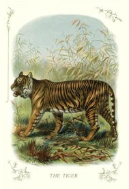 Unknown - The Tiger, 1900