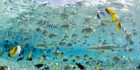 Michele Westmorland - Blacktip Sharks and Tropical Fish in Bora-Bora Lagoon