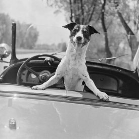 Anonymous - Fox Terrier in Convertible, 1953