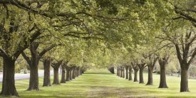 Ocean Images - Rows of Trees Bordering Greensward