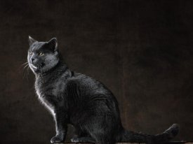 Yann Arthus-Bertrand - Seated Blue-Gray Chartreux Cat (detail)