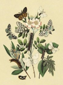 W. F. Kirby - Moths: L. Salicis, O. Dispar, et al.