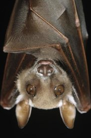 Ingo Arndt - Buettikofer's Epauletted Bat close up of face