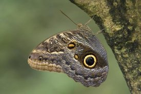 Ingo Arndt - Owl Butterfly perched upside down on tree, Costa Rica
