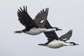 Ingo Arndt - Blue-eyed Cormorant pair flying, South Georgia Island