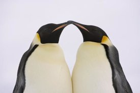 Ingo Arndt - Emperor Penguin pair courting, Weddell Sea, Antarctica